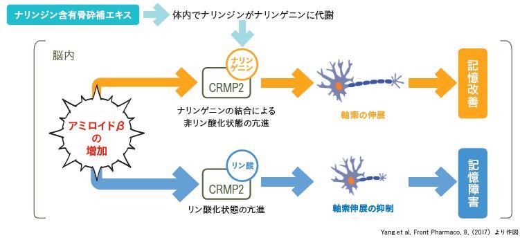 記憶力改善モデル